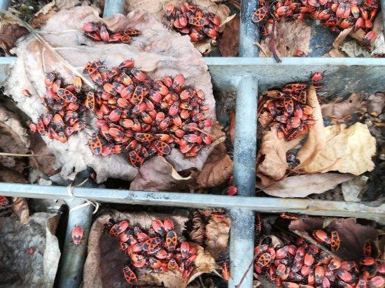 Wenn diese Insekten stören sollten, kann man sie mit einem Handfeger in einen Karton fegen und umsiedeln. Die Wanzen sind nicht schädlich.